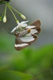 pollenating shui för blommameimal Fotografering för Bildbyråer