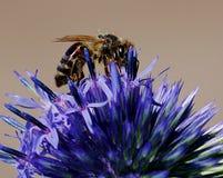 Pollenation del verano Foto de archivo libre de regalías