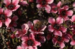 Pollenation entre las flores rosadas macras Fotografía de archivo libre de regalías