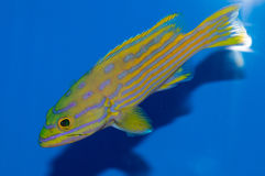 Pollenei Grouper. The Pollenei Grouper, also known as the Harlequin Rockcod or Harlequin Hind, is beautifully colored with a green and yellow body with yellow Royalty Free Stock Images