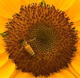 Pollenet av solrosen med ett bi arkivbilder