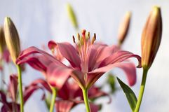 Pollens of lily flower of red and pink color Royalty Free Stock Images