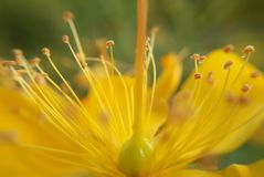 Pollens z rosa kroplami Zdjęcia Royalty Free