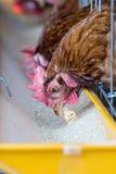 Polli in azienda agricola Immagine Stock