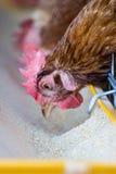 Polli in azienda agricola Immagini Stock