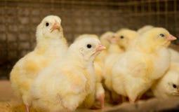 Polli Azienda avicola Fotografia Stock Libera da Diritti
