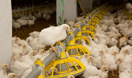 Polli Azienda avicola Immagine Stock Libera da Diritti