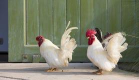 Polli bianchi Fotografia Stock Libera da Diritti