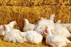 Polli bianchi dell'azienda agricola Immagini Stock Libere da Diritti