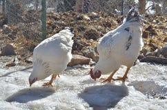 Polli che beccano sul ghiaccio Fotografia Stock