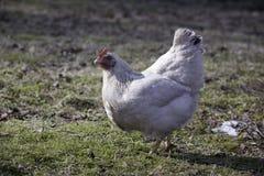 Polli che camminano nell'azienda agricola del paese Immagini Stock