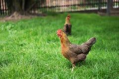Polli che camminano nell'erba verde e che cercano qualcosa mangiare Pollo felice multicolore Fotografia Stock