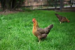 Polli che camminano nell'erba verde e che cercano qualcosa mangiare Pollo felice multicolore Immagine Stock