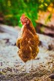 Polli che corrono sull'erba contro lo sfondo della natura immagine stock