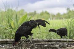 Polli che pascono con gli amici sul legname Fotografia Stock Libera da Diritti