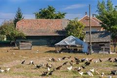 Polli che pascono nell'azienda agricola Immagine Stock