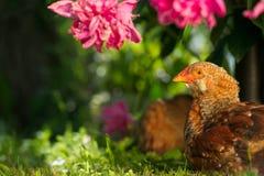 Polli che riposano sul prato inglese verde Immagini Stock Libere da Diritti