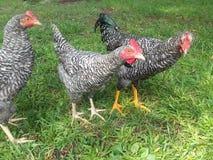 Polli che stanno insieme nell'erba Immagine Stock