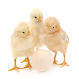 Polli con l'uovo immagine stock libera da diritti