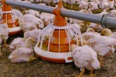 Polli d'alimentazione immagine stock