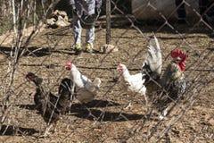 Polli d'alimentazione Immagini Stock