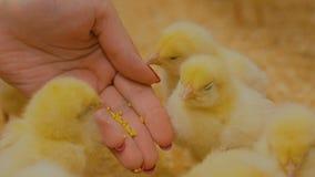 Polli d'alimentazione del bambino della donna sull'azienda agricola video d archivio