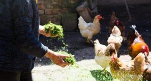Polli d'alimentazione dell'agricoltore nel granaio Immagini Stock