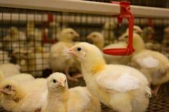 Polli da arrosto del pollo. Azienda avicola Fotografia Stock Libera da Diritti