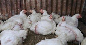 Polli da arrosto nell'uccelliera video d archivio
