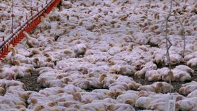 Polli da carne all'azienda agricola stock footage