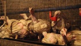 polli da carne Quaranta giorni all'azienda avicola video d archivio