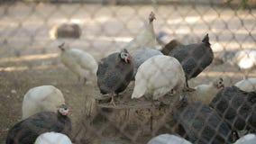Polli decorativi dietro le barre stock footage