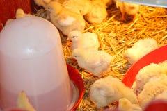 Polli dei pulcini fotografia stock