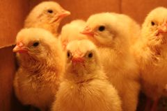 Polli del bambino Fotografie Stock Libere da Diritti