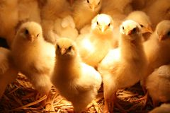 Polli del bambino Immagine Stock Libera da Diritti