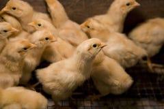 Polli del bambino Immagine Stock