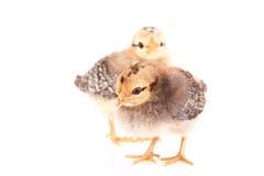 Polli del bambino isolati su bianco Fotografie Stock