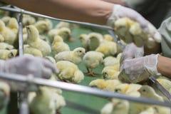 Polli del bambino riguardati appena il vassoio, Fotografia Stock Libera da Diritti
