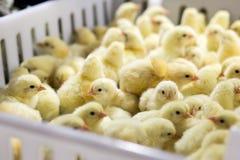 Polli del bambino riguardati appena il vassoio, Fotografia Stock