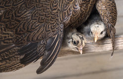 Polli del bambino sotto l'ala della gallina della madre Immagini Stock Libere da Diritti