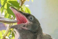 Polli del corvo sui precedenti di un balcone di fioritura e dell'uva, fondo della molla sedendosi con la sua bocca aperta e lo ha immagine stock