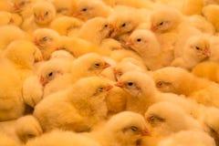 Polli del giorno scorso uno Fotografia Stock