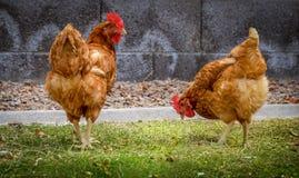 Polli dell'azienda agricola Immagini Stock
