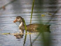 Polli della gallinella d'acqua su acqua Fotografie Stock Libere da Diritti