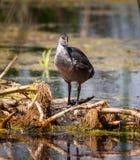 Polli della gallinella d'acqua su acqua Fotografia Stock Libera da Diritti
