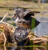 Polli della gallinella d'acqua su acqua Immagini Stock