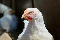Polli della razza della carne Fotografie Stock