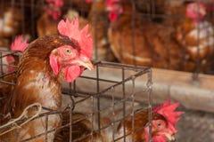 Polli delle uova nell'azienda agricola locale Immagini Stock Libere da Diritti
