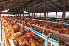 Polli delle uova nell'azienda agricola locale Immagine Stock Libera da Diritti