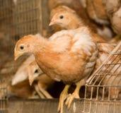 Polli di Brown in una gabbia Fotografie Stock